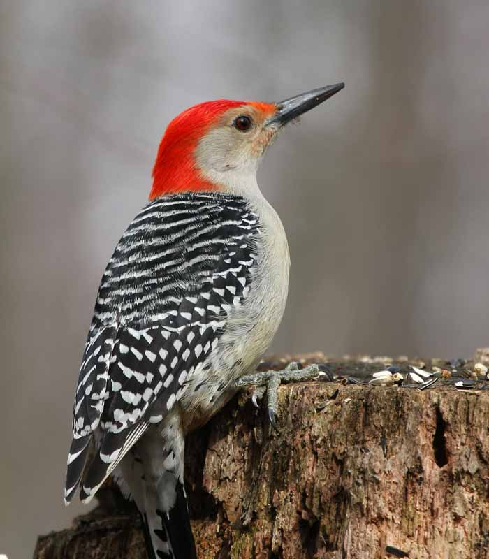 Red-Bellied Woodpecker on a tree stump in Warwick New York
